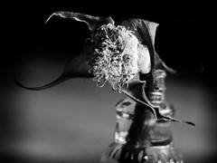 TO LATE? (Ageeth van Geest) Tags: monochrome blackandwhite flower bw late decay rosebut rose