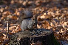 Белка и семечки :) (vovadvd) Tags: белки щукино squirrels nikon nikond750 tamron tamron70200g2