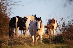 _9652 (In this twilight...) Tags: berryhillfields stokeontrent staffordshire england unitedkingdom horse autumn