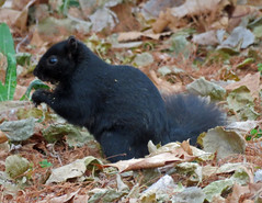 IMG_1628 (lbj.birds) Tags: kansas nature flinthills wildlife squirrel easternfoxsquirrel melanisticeasternfoxsquirrel melanisticsquirrel
