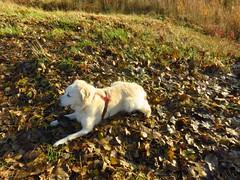 's Heerenhoek (Omroep Zeeland) Tags: hond op bladeren