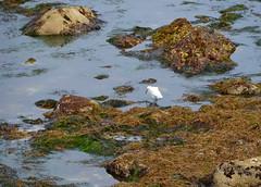 Looking for a snack (afagen) Tags: california pacificgrove montereypeninsula pacificocean ocean bird