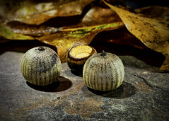 Acorns on Rock (Jack Heald) Tags: macromondays vowel acorn a nut monday macro hmm rock heald jack d750 nikon micro 60mm oaknut oak fall autumn leaves tree still life nuts ihatethesenuts nuisance