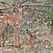 Junge Impalas / Impala Calfs
