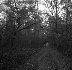 Through the forest (Rosenthal Photography) Tags: ff120 epsonv800 20181202 6x6 asa400 schwarzweiss ilfordhp5 weltaweltax mittelformat analog ilfordrapidfixer path pathway way track trail forest trees landscape winter autumn november mood blackandwhite welta weltax tessar zeiss czj 75mm f35 ilford lc29 129 hp5 hp5plus epson v899