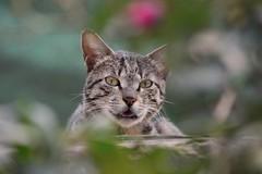 Peek a boo (hasham2) Tags: cat caturday bokelicious nikon d7100 pet tabby zoomnikkor
