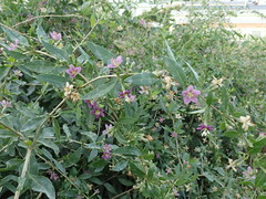 Duke of Argyll's Tea-plant - Lycium barbarum (Jeremy Halls) Tags: lincs