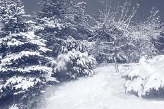 IMG_0338 Adam's tree (MariuszWicik) Tags: night winter landscape view picture image canoneos5dmarkii lens new forest adam ewa fruit paradise blue elves blackandwhite mono monochrome