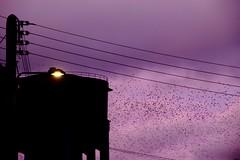 Nuée pourpre (Tonton Gilles) Tags: alençon normandie crépuscule noir violet rose étourneaux sansonnets nuée réverbère lampadaire rue des réservoirs château deau lignes électriques câbles poteau contrejour urbain graphisme