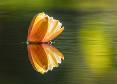 Water Lily (mclcbooks) Tags: flower flowers floral waterlilies waterlily pond denverbotanicgardens colorado summer reflection