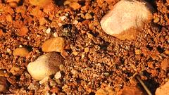 sand bear Arctosa perita lycosidae (BSCG (Badenoch and Strathspey Conservation Group)) Tags: acm arachnid arctosa lycosidae spider behaviour sunshine january cold