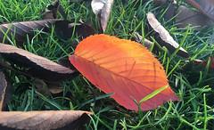 Leaf On Fire (Coquine!) Tags: christianleyk unitedkingdom greatbritain england london batterseapark park grass gras leaf blatt autumn fall herbst green grün rot red orange
