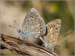 Ícaro o Dos Puntos. (josemph) Tags: olympus e3 sigma 105mm zuico ec14 macro insectos mariposas lepidópteros licénidos dospuntos polyommatusicarus commonblue