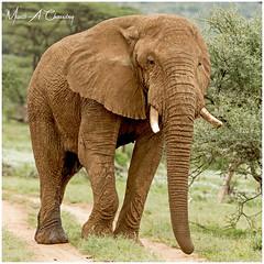 The Huge Bull Ellie! (MAC's Wild Pixels) Tags: thehugebullellie elephant loxodontaafricana maleelephant bullelephant animal mammal wildlife africanwildlife wildafrica wildanimal wildlifephotography endangeredspecies criticallyendangered endangered ivory tusks poaching safari gamedrive outdoors outofafrica nature naturephotography savannahplains samburugamereserve samburunationalreserve samburu isiolo kenya macswildpixels coth alittlebeauty natureinfocusgroup coth5 ngc npc