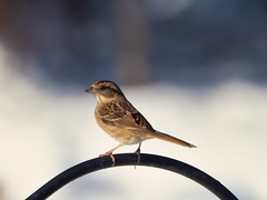 Finch in the sunlight (Kelly_MR) Tags: birds backyardbird olympus olympusomdem1markii em1markii em1