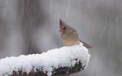 Female Cardinal (Diane G. Zooms---Mostly Off) Tags: femalecardinal redbirds wildbirds longislandbirds birds wintercardinal dianegiurcophotography alittlebeauty specanimal ngc npc coth coth5