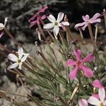 inchtube phlox, Phlox stansburyi subsp. superba thumbnail