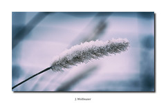 DSC03892 (J.Wolfmaier) Tags: sonyalpha macro macrophotography flower winter december snow schnee nature moody