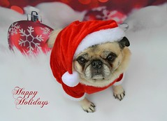 Happy Holidays (DaPuglet) Tags: pug pugs dog dogs pet pets animal animals christmas winter december holidays santa bokeh love friendship costume seasonsgreetings holiday greeting happyholidays joyeuxnoël noël sweet coth5