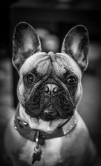 French Bull dog (kellie.swanton@hotmail.co.uk) Tags: dogsoftheworld portraits dogphotography dogphotographer dogphoto dogportrait dogportraits portrait beautifuldog canonlens canonphotographer 18135mmlens picturethis lighting frenchie canonphotography canoncamera bw winter girl pretty beautiful pets pet shot snap snapshot 80d photographer photography photooftheday photo camera canon white black blackandwhite edit frenchies bulldogs doggie dogs perfectpicture picture perfect pictureperfect animals animal love dog frenchbulldog