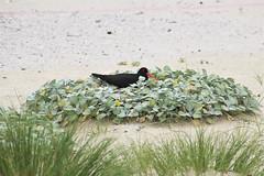 Pied oystercatcher (RossCunningham183) Tags: piedoystercatcher oystercatcher lakeconjola nsw australia bird beach nesting