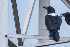 CORVI BIANCONERO IN COPIA    ----    BLACKWHITE CEOWN  IN  COPY (Ezio Donati is ) Tags: uccelli birds animali animals natura nature westafrica costadavorio abidjan