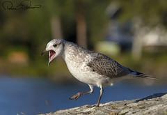 2E6A5231s (TARIQ HAMEED SULEMANI) Tags: sulemani tariq tourism trekking tariqhameedsulemani winter wildlife wild birds nature nikon