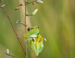Frocobatrics (zimpetra) Tags: africa malawi nature frog amphibian balance viphya grass