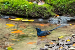 White-rumped Shama (phichaklim) Tags: fly nature whiterumpedshama animal asia avian bath beautiful bird conservation extinction forest jungle park pond thailand tree tropical water wild wildlife wings