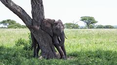 Extensive Scratching (AnyMotion) Tags: africanelephant afrikanischerelefant loxodontaafricana elephants elefanten young jung scratching sichkratzend tree baum 2018 anymotion tarangirenationalpark tanzania tansania africa afrika travel reisen animal animals tiere nature natur wildlife 6d canoneos6d landscape landschaft