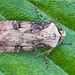 2092-_W4A9096 Shuttle-shaped Dart (Agrotis puta)