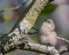 Bushtit (f) (Becky Matsubara) Tags: aegithalidae avian bird birds bushtit california nature outdoors psaltriparusminimus sanfranciscobaytrail wildlife