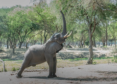 At full stretch (tickspics ) Tags: africa lowerzambezi africanelephant zambia bushelephant elephantidae iucnredlistvulnerable loxodontaafricana mammalia proboscidea savannaelephant