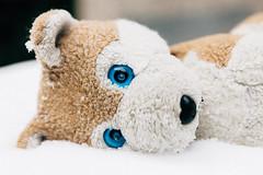 Wolfi in the Snow (Snowolfi) (WolfiWolf-presents-WolfiWolf) Tags: wolfiwolf eneamaemü wolf blue eyes universum snow winter portrait wild butlers jazzinbaggies i süserderwolfiniewar hachwennmichdochnurjemandwärmenkönnte wiesowärmtmichdennniemand bittewärmetmich gern vorüberistdersonnenschein schnee kalt blu alsojetzhabianblu marieschen