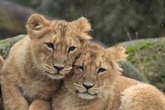 Sisters (K.Verhulst) Tags: sisters aziatischeleeuwen asiaticlions lions leeuwen cats blijdorp blijdorpzoo diergaardeblijdorp rotterdam leeuw