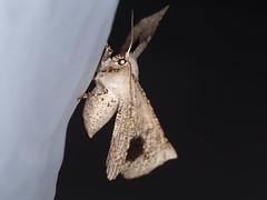 Circopetes obtusata (dhobern) Tags: 2019 act australia geometridae january lepidoptera namadginationalpark circopetesobtusata oenochrominae