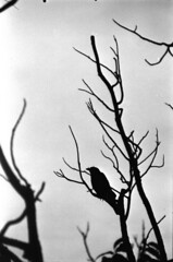 lorn (BleakView) Tags: crow bleakview bleak blackandwhite bird death dying silhouette solo frost winter mourn monochrome lorn forlorn film 35mm analogue alone depression pagan odin hugin munin veins twig stick doomer
