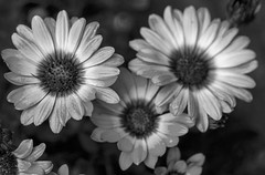 Osteospermum (San Francisco Gal) Tags: osteospermum flower fleur bloom blossom monochrome bw nb africandaisy ngc