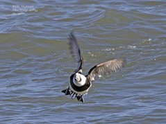 Long-tailed Duck. (rumerbob) Tags: islandbeachstatepark longtailedduck duck waterfowl waterbird oceanbird seabird lakebird bird birdwatching birdwatcher wildlife wildlifephotographer wildlifewatcher nature naturewatcher naturephotography canon7dmarkii canon100400mmlens