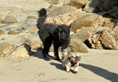 Come back, I just want to play! (Bennilover) Tags: dogs playing walking beach rocks ocean lagunabeach benni labradoodle sweet littledog