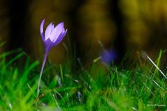 Crocus d'automne (jpto_55) Tags: crocusdautomne fleur pyrénées ariège france xt20 fuji fujifilm fujixf55200mmf3548rlmois