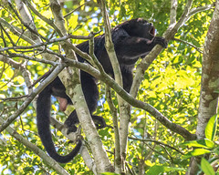 Belize - Howler Monkey (dbadair) Tags: howler monkeys largest central american forests loud howls rainforest