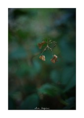 2018/10/8 - 5/9 photo by shin ikegami. - SONY ILCE‑7M2 / Voigtlander NOKTON CLASSIC 40mm f1.4 SC VM (shin ikegami) Tags: 紫陽花 macro マクロ flower 花 井の頭公園 吉祥寺 autumn 秋 sony ilce7m2 sonyilce7m2 a7ii 50mm carlzeiss sonnar csonnar50mmf15 tokyo sonycamera photo photographer 単焦点 iso800 ndfilter light shadow 自然 nature 玉ボケ bokeh depthoffield naturephotography art photography japan earth asia