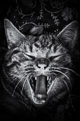 Good Morning (Evoljo) Tags: cats dougal ginger yawn teeth mouth tounge ears eyes pet fur whiskers blackwhite nikon d500
