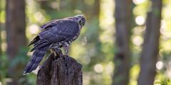 Havik -  Northern Goshawk (Wim Boon Fotografie) Tags: wimboon canoneos5dmarkiii havik nature natuur huizen bos wood vogelhut canonef400mmf28lisusm