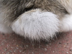 Adoratail (eveliensbunnypics) Tags: bunny rabbit lop lopeared polly tail adoratail closeup apr