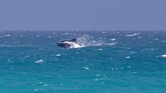 jumping whale (Geonaut) Tags: dehoopnaturereserve gardenroute gartenrute marinewalk südafrika southernrightwhale za