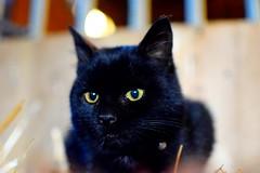 ({Sam~I~am}) Tags: cat farm barn stall homestead nature animals kittens kitten eyes hay barncat