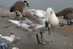 Looking at things from a different angle (Neil Pulling) Tags: bedfordshire bedford greatouse swan birds england uk