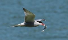 Tern F00439 Preston Docks D210bob DSC_3736 (D210bob) Tags: tern f00439 prestondocks d210bob dsc3736 nikond7200 birdphotography birdphotos naturephotography naturephotos nikon wildlifephotography nikon200500f56 rspb